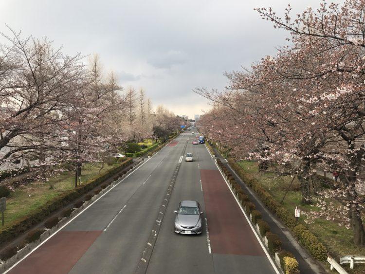2017年国立市桜花見情報
