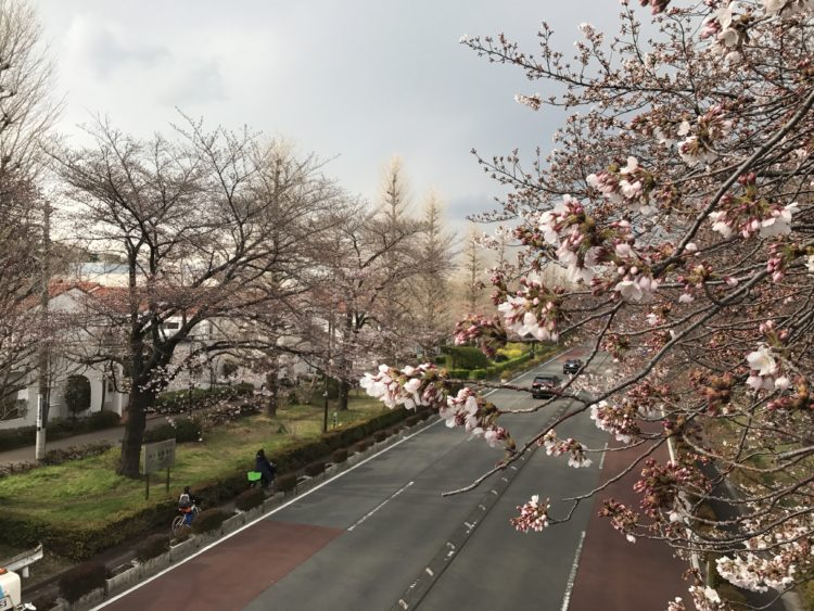 2017年国立桜花見