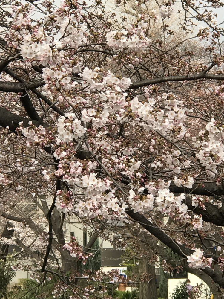 2017年国立市桜開花情報
